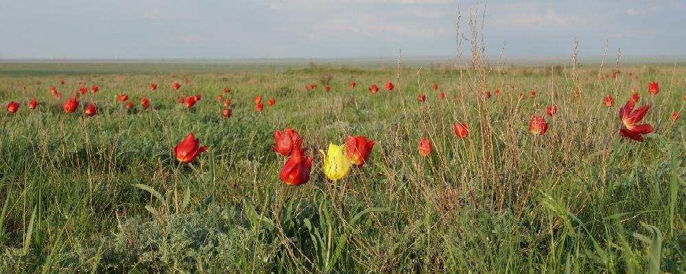 Tulpenblüte in der kalmückischen Steppe